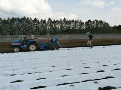キャベツ圃場のビニルマルチ敷設作業