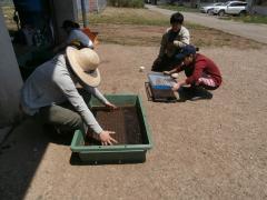 キャベツの播種