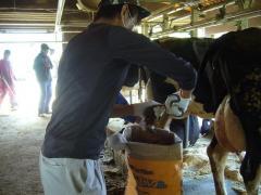 酪農家で乳牛の尻尾切り