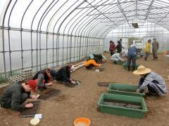 キャベツの播種作業