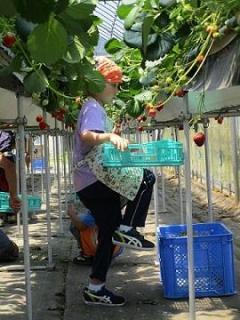 いちごの収穫