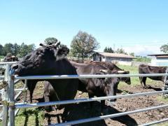 野辺山ステーションの牛たち