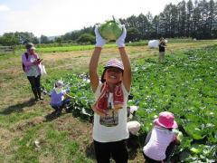 キャベツの収穫体験