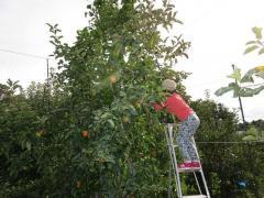 りんごの収穫