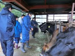 乳牛への給餌体験