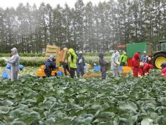 キャベツの収穫