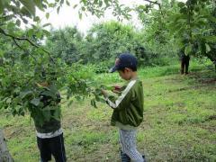 リンゴの摘果