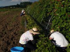 マメの収穫実習