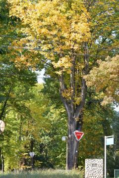 正門前のゆりの木の様子