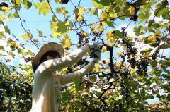 ヤマブドウの収穫の様子