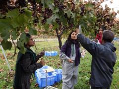 農場実習で山ブドウの収穫