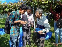 農場実習にて山ブドウを収穫