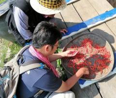 カンボジア北部プレアヴィヒア州においてトウガラシ遺伝資源を調査する松島准教授