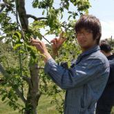 5月14日 リンゴの摘果(持続的生物生産システム実習)