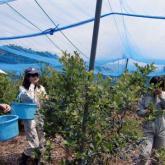 7月3日 ブルーベリーの試食と収穫(生物生産一貫実習)