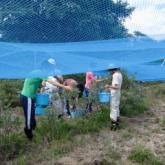 7月17日 ブルーベリーの試食と収穫