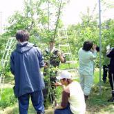 5月23日 リンゴの摘果03