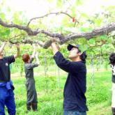 6月6日 ブドウの整枝・摘房02