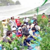 7月4日 ブルーベリー収穫01