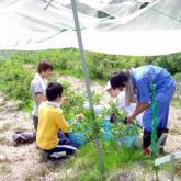 7月4日 ブルーベリー収穫03