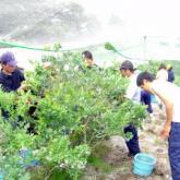 7月4日 ブルーベリー収穫04