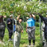 6月12日 ブドウの整枝、誘引、摘房