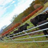 牛たちの行進(野辺山ステーション)