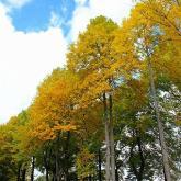 秋ユリノキ並木