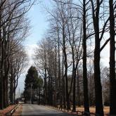 冬支度のユリノキ並木 1