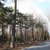 冬支度のユリノキ並木 2