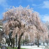 第3回フォトコン 農学部キャンパス部門 最優秀賞「桜の雪化粧」関沼幹夫さん