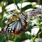 第3回フォトコン 研究活動部門 優秀賞「旅する蝶 アサギマダラ」垣地健太さん