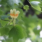ユリノキの花が咲きました