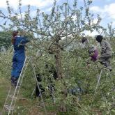 H24.5.9 リンゴ摘花(食料生産科学科・動物生産学コース)