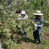 H24.5.10 リンゴ摘花(食料生産科学科・農学コース)