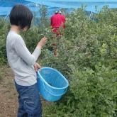 H24.7.20 ブルーベリー収穫(食料生産科学科・農学コース)