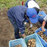 H24.7.20 ジャガイモ収穫(食料生産科学科・農学コース)