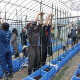 H24.5.25 トマト苗定植(食料生産科学科・農学コース)