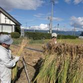 H24.9.28 稲刈り・はざ掛け(食料生産科学科・農学コース)