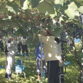 H24.10.5 ブドウ収穫(食料生産科学科・農学コース)