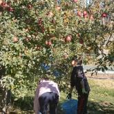 H24.11.16 リンゴ収穫(食料生産科学科・農学コース)