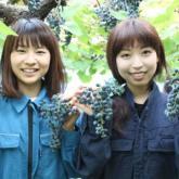 10/3  ヤマブドウの収穫 PART1