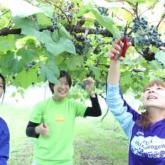 10/3 ヤマブドウの収穫 PART2