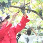 10/4 ヤマブドウの収穫 PART2