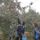 10/18 リンゴ収穫 PART2