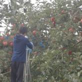 10/18 リンゴ収穫 PART1
