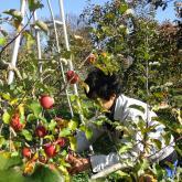 11/21 リンゴの収穫
