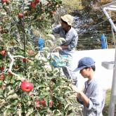 10/23 リンゴの収穫、選果①