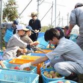 10/23 リンゴの収穫、選果②