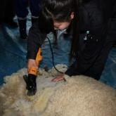 4/7 羊の毛刈り